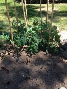 Suburbia 2 tomatoes